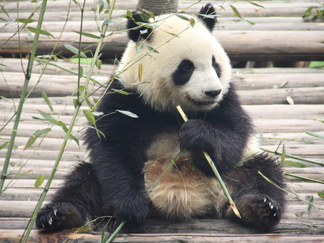 Bear Necessity: China's Panda Sanctuary