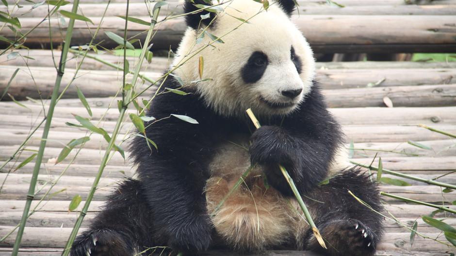 Bear Necessity: China's Panda Sanctuary