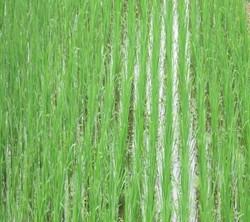 ricefield18001600.jpg
