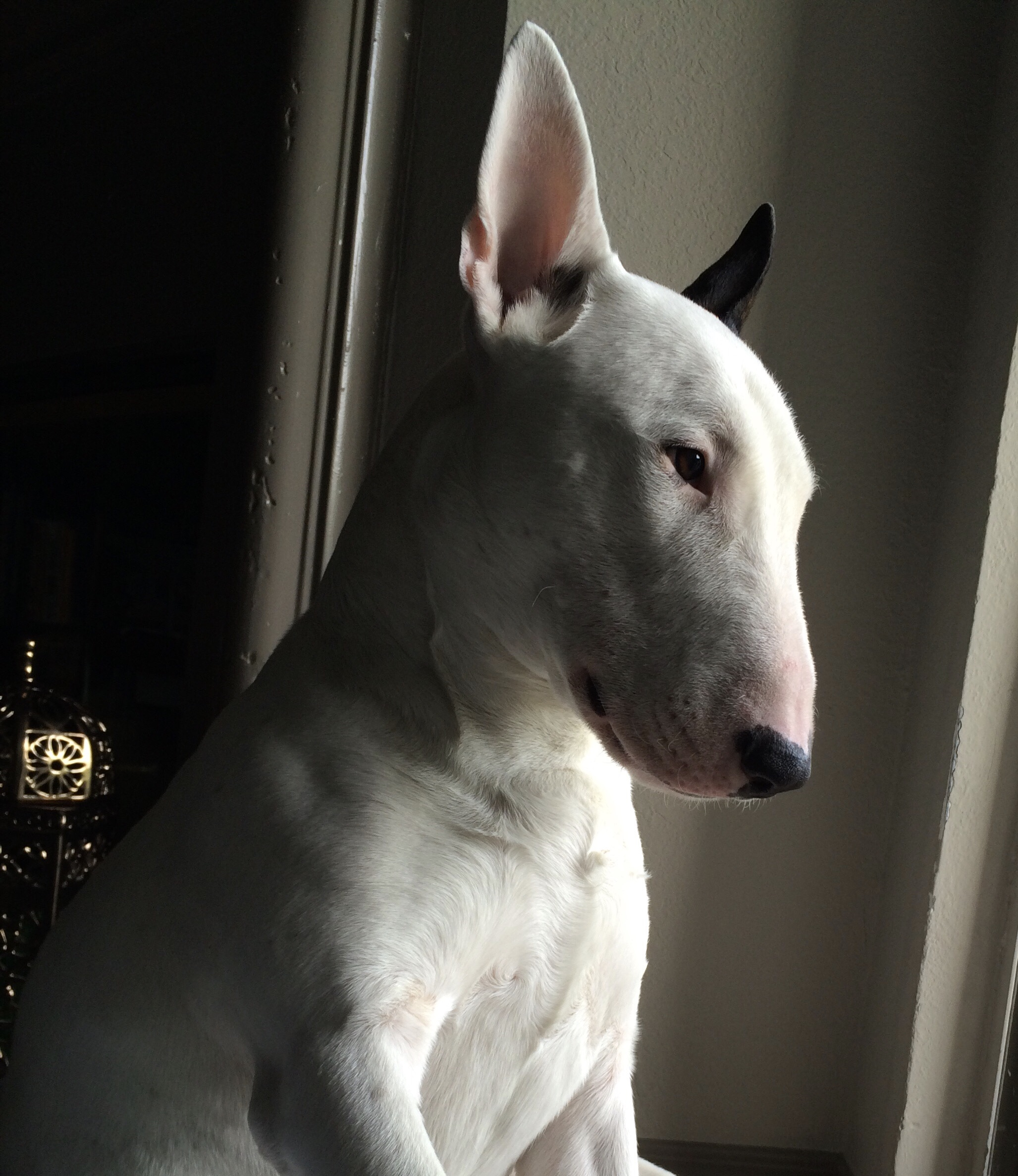 Rolex White Bull Terrier