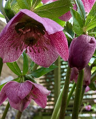 #Hellebores are looking good #cliftonvil