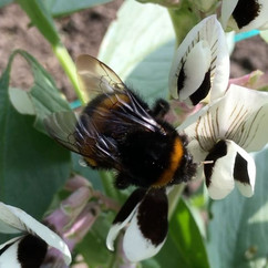 Bumblebee and broad beans getting along