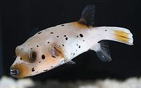 dogface-puffer-fish.jpg