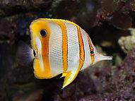 Butterfly-Fish1.jpg