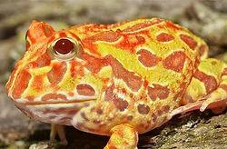 sunburst-pacman-frogs-for-sale_edited.jp