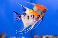 Koi-Angelfish.jpg