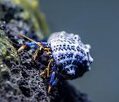 blue leg hermit crab4.jpg