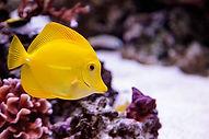 yellow-tang.jpg