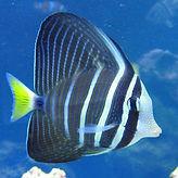 sailfin-tang.jpg