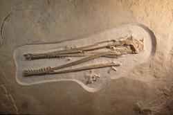 A pterosaur skull with robust teeth