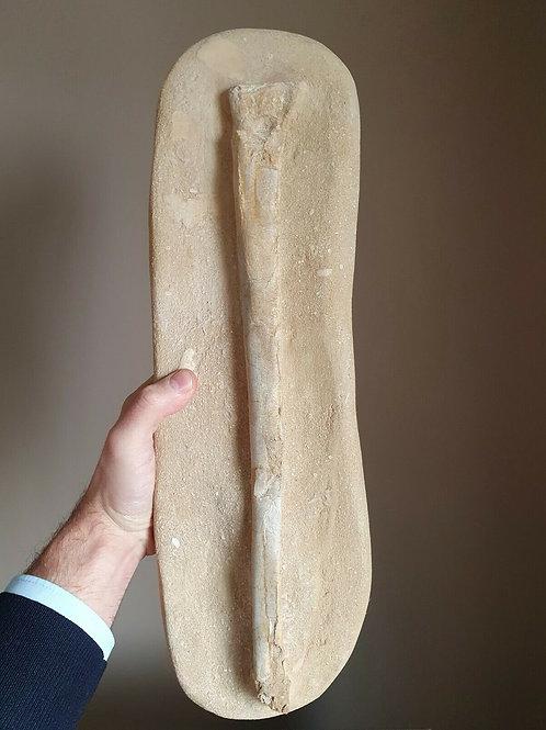 EXTREMELY RARE giant Pterosaur wing bone PHOSPHATODRACO / Quetzalcoatlus