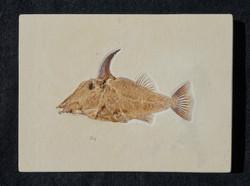 Fantastic spiny pycnodont fish