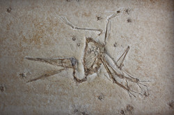 Delicate skeleton of flying reptile