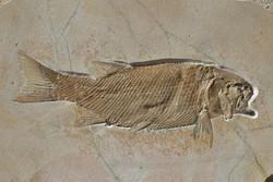 Incredible half meter long bony fish