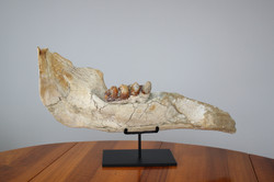 Incredible Mastodon jaw from France