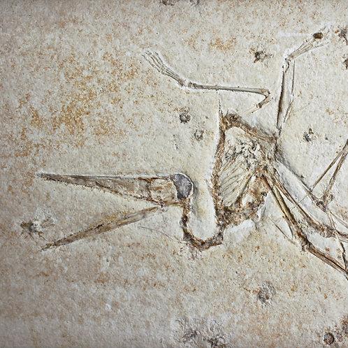 Extremely rare Pterosaur skeleton from the Solnhofen limestone