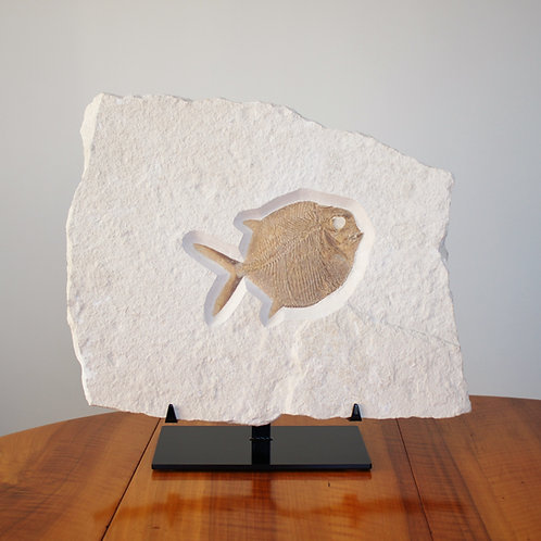 Beautiful GYRODUS fish from the late Jurassic