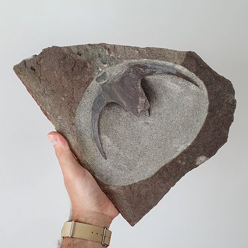 Placoderm Very impressive DICKSONOSTEUS thoracic shield from Spitsbergen