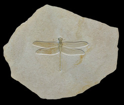 A giant dragonfly (wingspan 18 cm)
