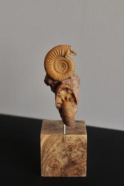 Incredible ammonite with apophyses
