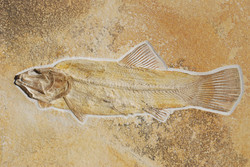 A perfect predatory fish (37 cm)