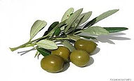 olive branch.jpg