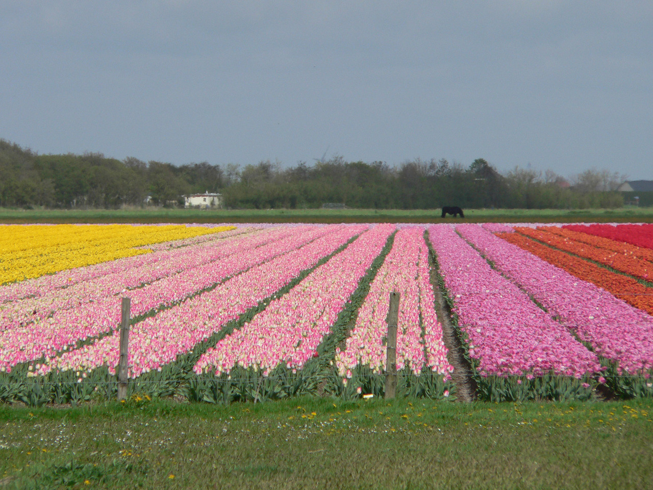 Akkers met tulpen