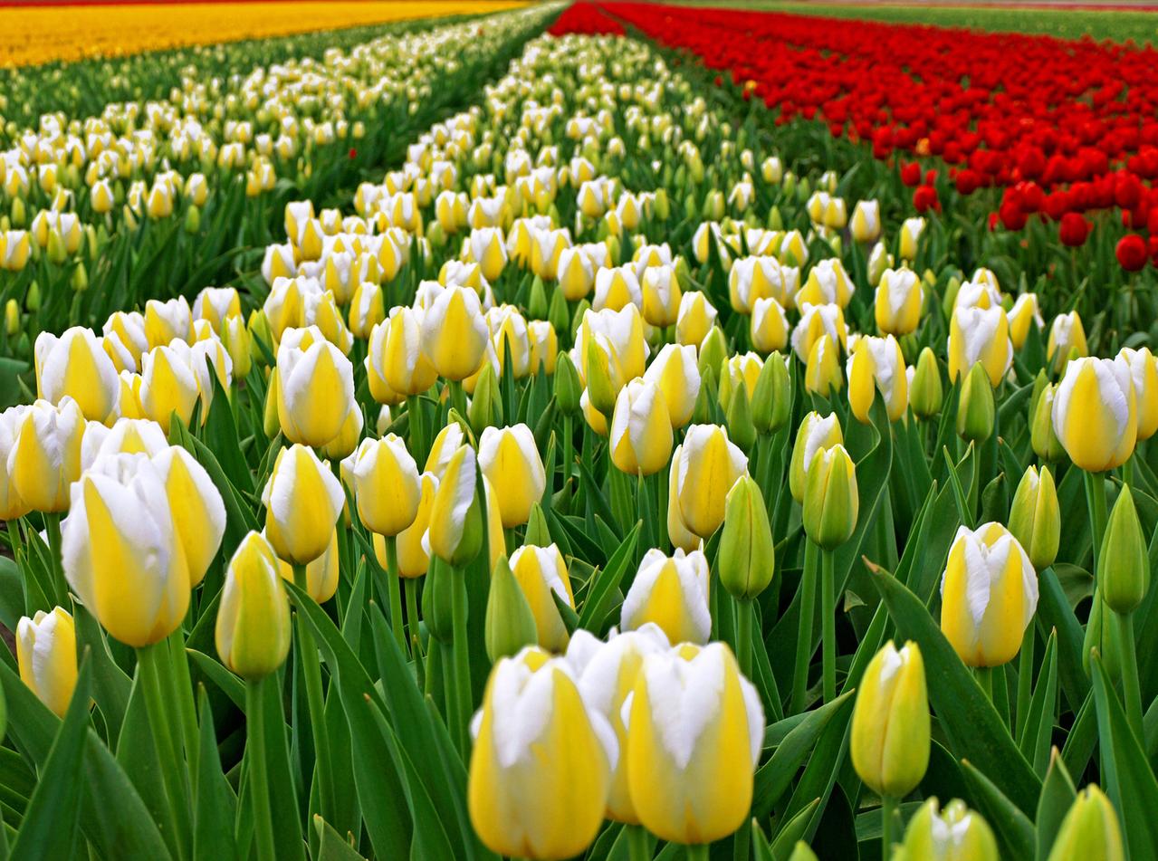 Tulpenvelden in alle kleuren