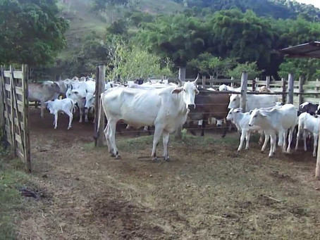 Falta de energia na zona rural preocupa produtores que veem animais padecerem sem água e ração