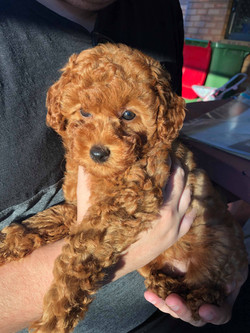 Soba the poodle
