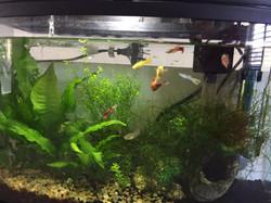 A few tiny goldfish