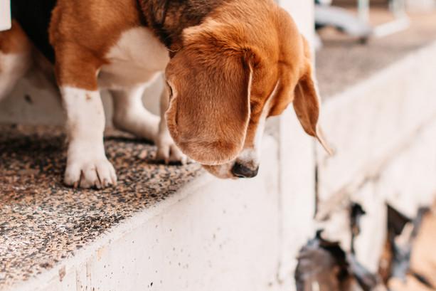 beagle-5798.jpg