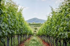 Early Mountain vines pic.jpg