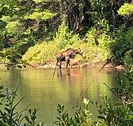 moose calf marshall pond_edited.jpg