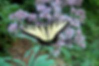 butterfly nectaring on joe pye weed