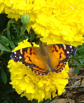 yellow flowers butterfly.jpg
