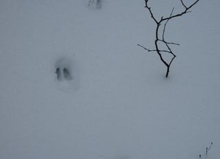 Winter Survival: Deer Yards