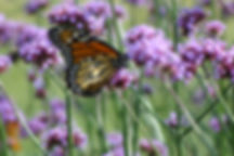 monarch butterfly nectarin on verbena