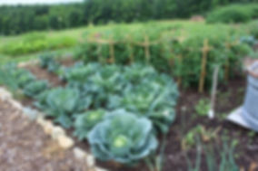 garden wit cabagges, tomatoes in rows, community garden