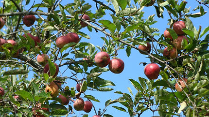 apples on tree.JPG