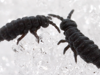 Springtails: Lovers of Winter Sunshine