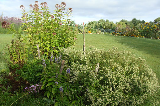 pollinator garden in bloom, joe pye weed, mountain mind, blue lobelia, northern blazing star