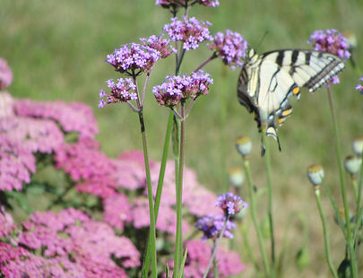 Tiger swallowtail butterfly nectaring on purple flower