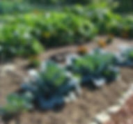 cabbages growing in rows in garden