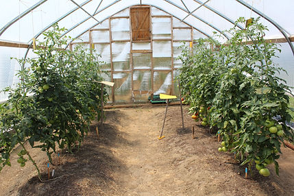 growing tomatoes vertically in high tunnel