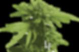 LFcannabis-flower.png
