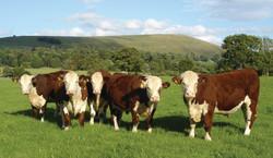 LHO cows.jpg