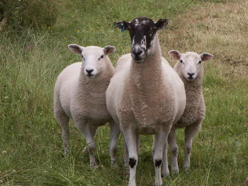 Sheep with 2 lambs.jpg