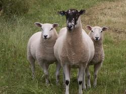 Sheep with 2 lambs.jpg