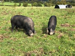 Pigs rooting.jpg